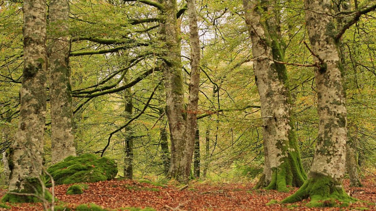 Bosque de la Selva de Irati