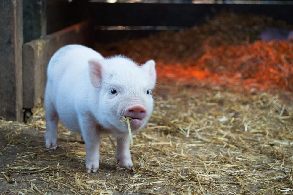 Razones para tener (o no) un cerdo como mascota