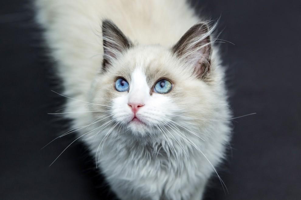 Las 10 razas de gato doméstico