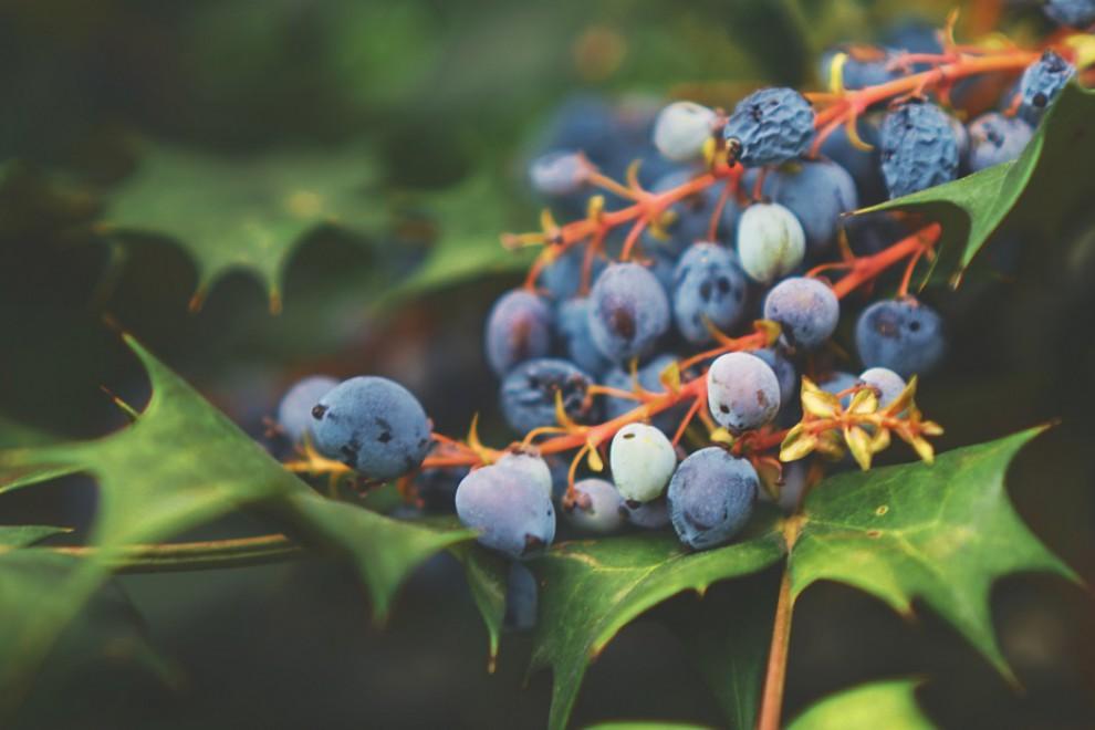 Fruto arándano