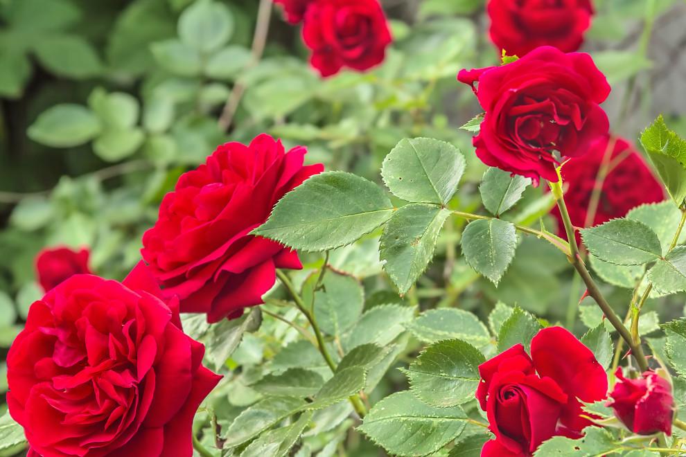 Tipos de rosa