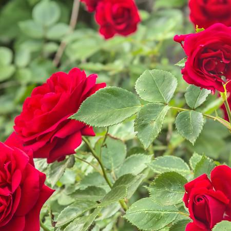 Los 6 tipos de rosas (y sus características)