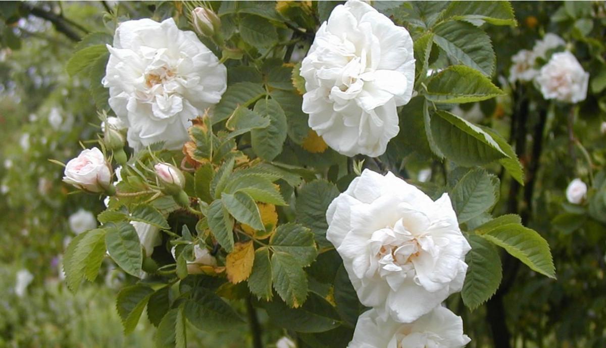 Rosal Antiguo Alba