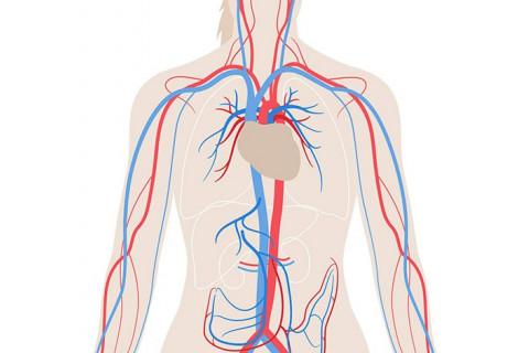 Diferencias entre venas, arterias y capilares