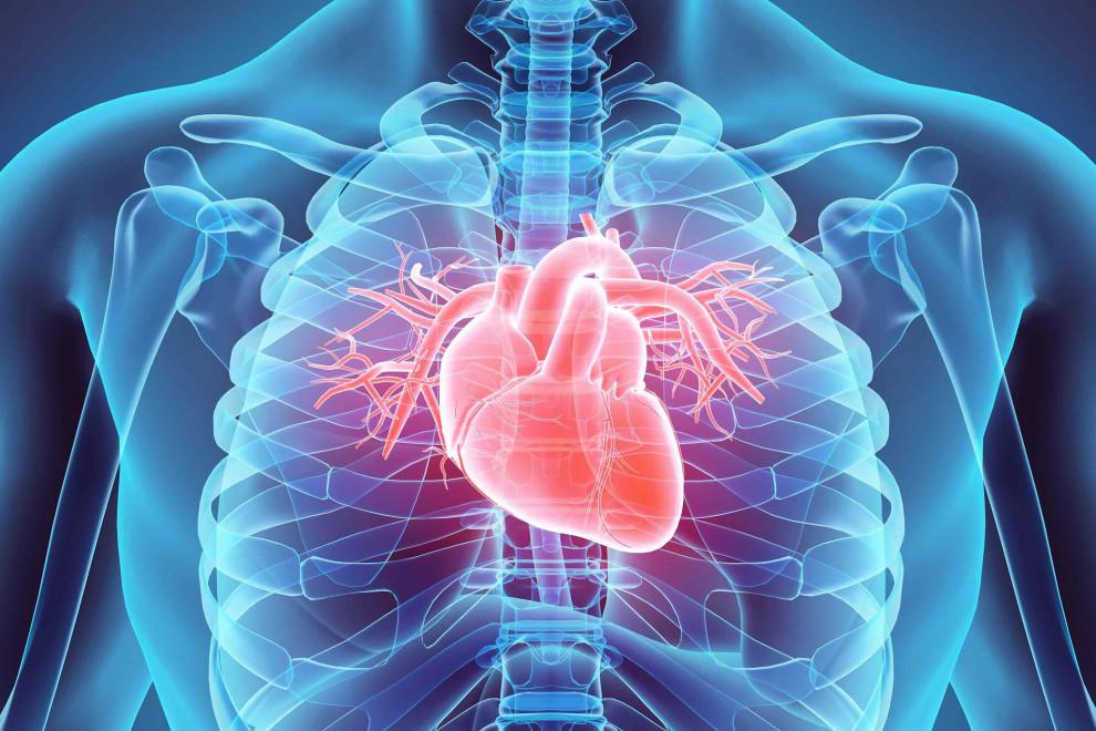 Partes del corazón