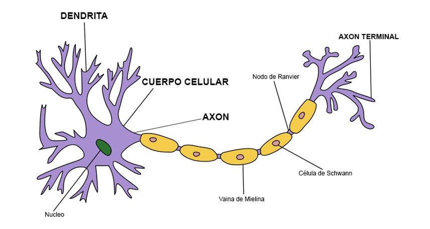 Anatomía neuronal