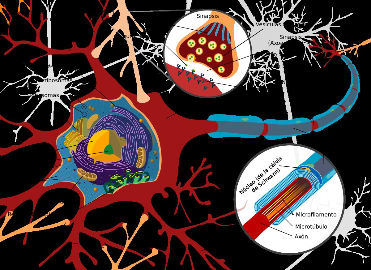 Neurona morfología