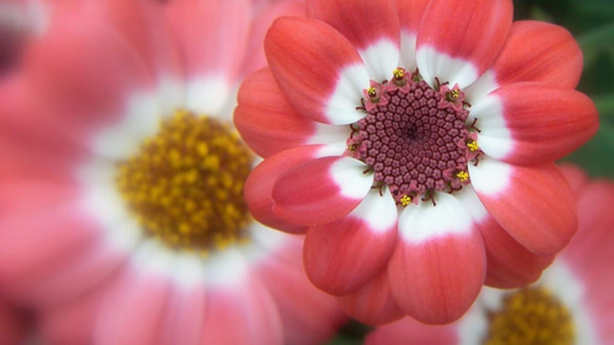 Flor pluricarpelar
