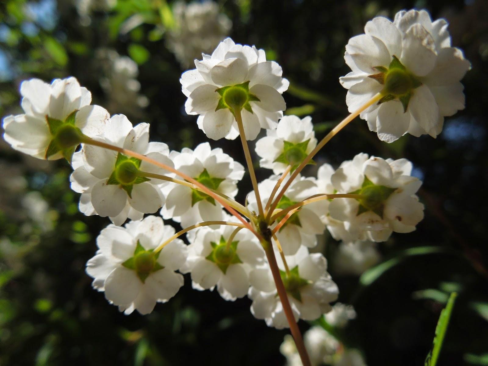 Flor umbela
